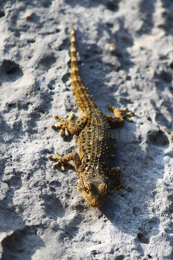 Small brown lizard walking on a rock. Zoom on a small brown lizard that was walking vertically on a rock, upside down royalty free stock photography