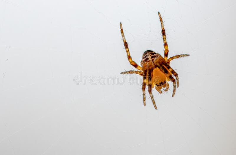 Small brown-orange spider sits in its web and waits for prey. A small brown-orange spider sits in its web and waits for prey stock images