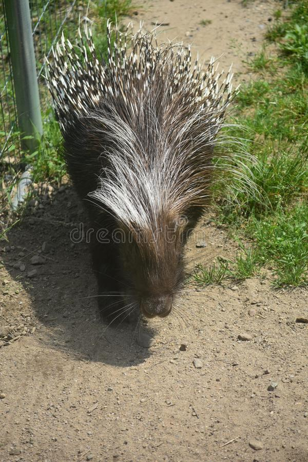Small brown porcupine walking next to a fence stock image