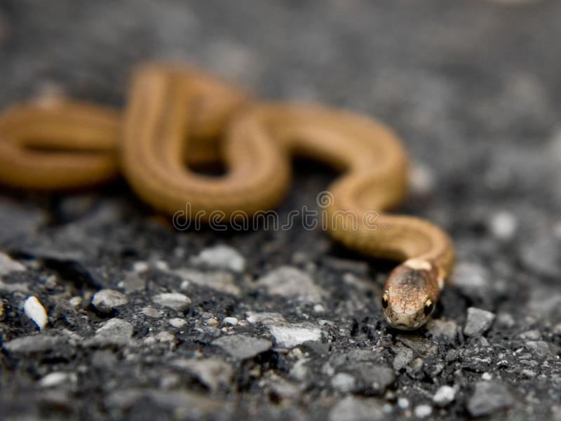 Small Brown Snake. A small brown snake on a road stock images