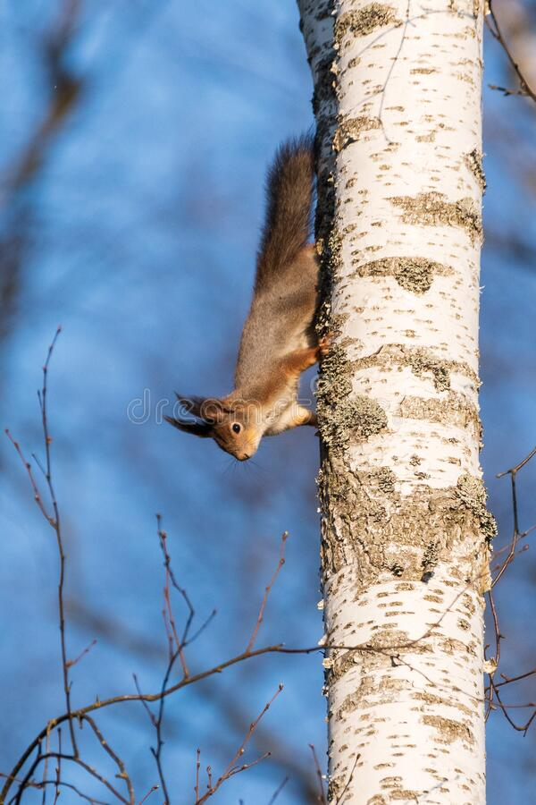 A squirrel climbs on a birch trunk royalty free stock photo