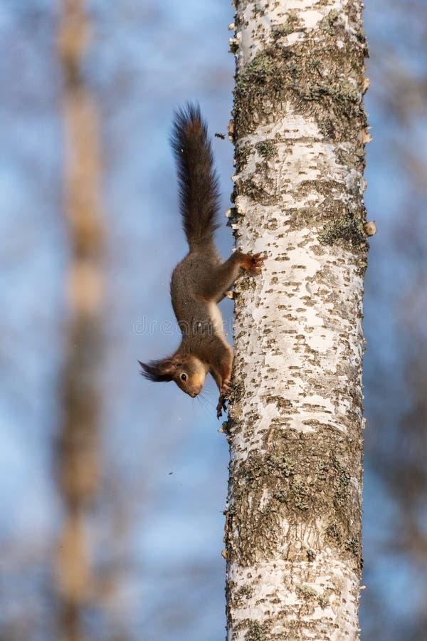 A squirrel climbs on a birch trunk stock photo