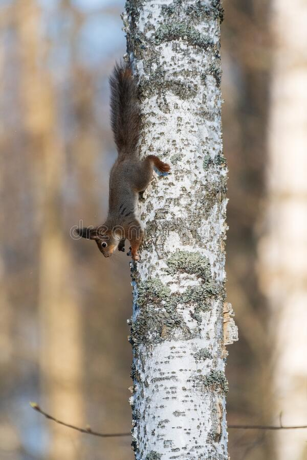 A squirrel climbs on a birch trunk stock photography