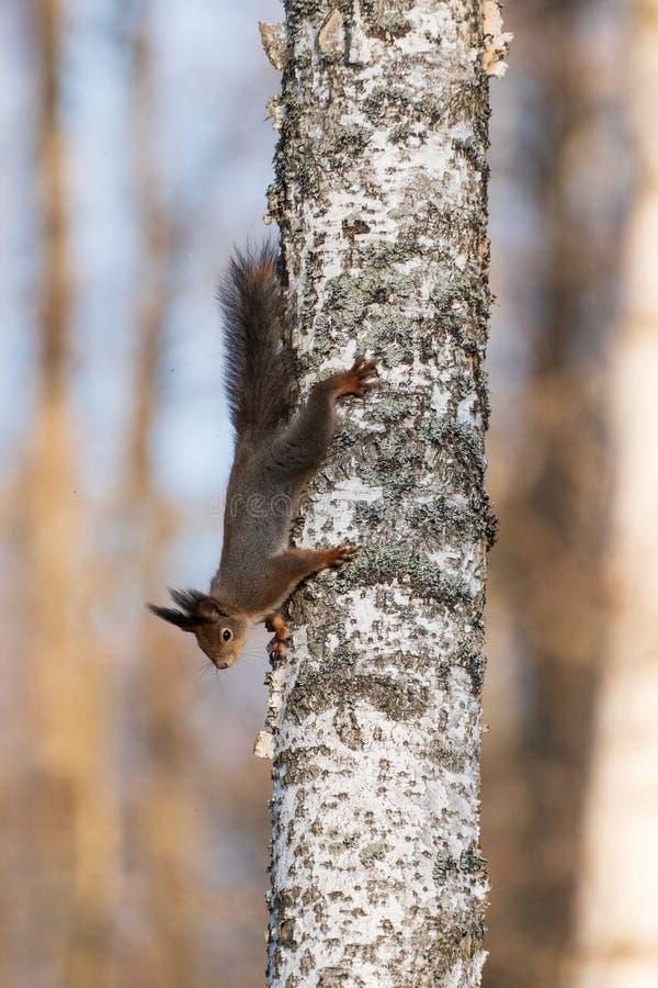A squirrel climbs on a birch trunk royalty free stock photos