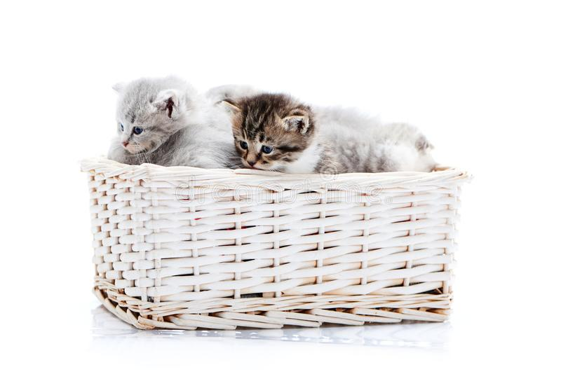 Small brown striped fluffy blue-eyed kitten sitting among other cute grey kitties in white wicker basket while posing royalty free stock image
