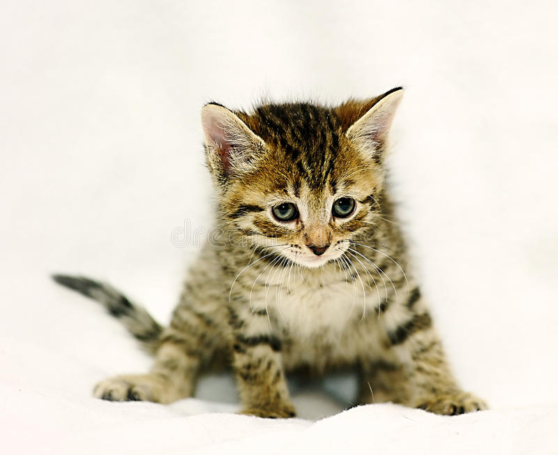 small brown tabby kitten stock image image of tranquil 30507175