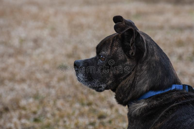 Small brown and white dog wiht alert expression and blue collar royalty free stock images
