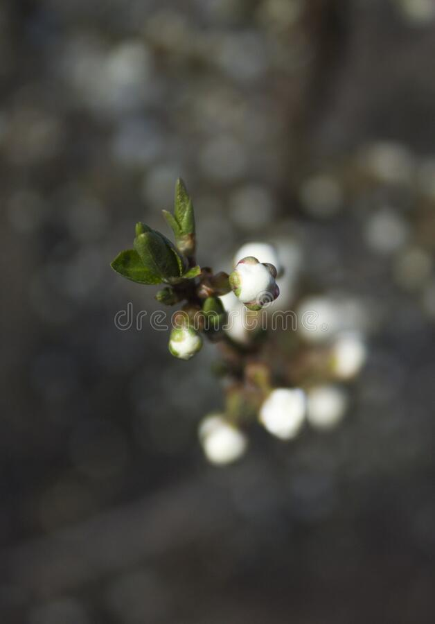Small buds of cherry blossoms. Macro royalty free stock photos