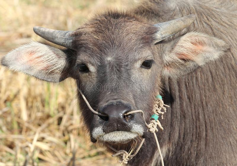 Download Small buffalo stock image. Image of tropical, outdoor - 22729933