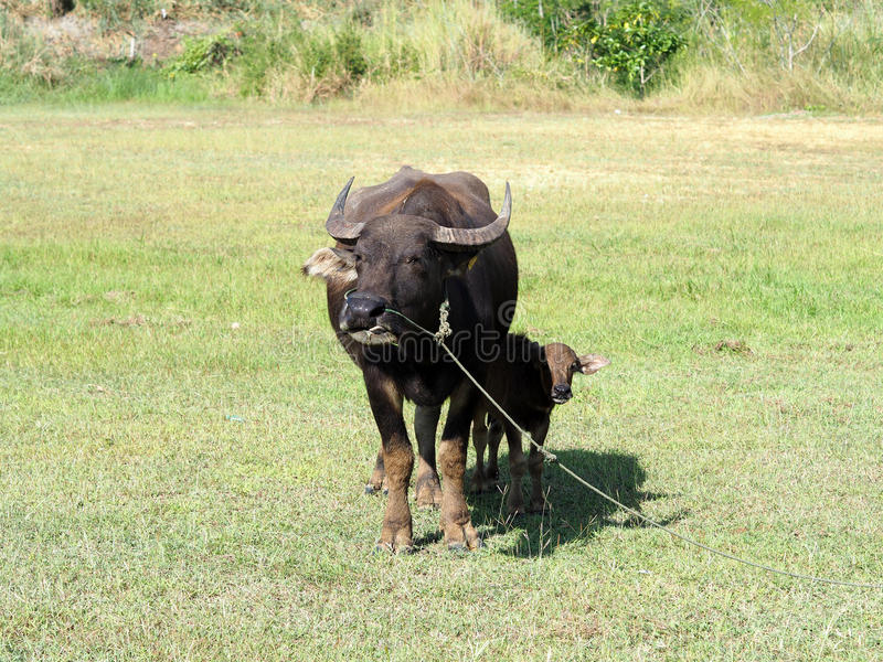 Small buffalo with his mother standing on green grass stock photography