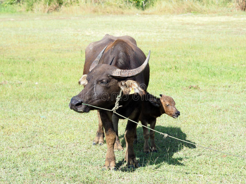 Small buffalo with his mother standing on green grass royalty free stock photography