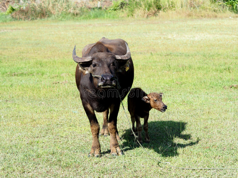 Small buffalo with his mother standing on green grass stock image