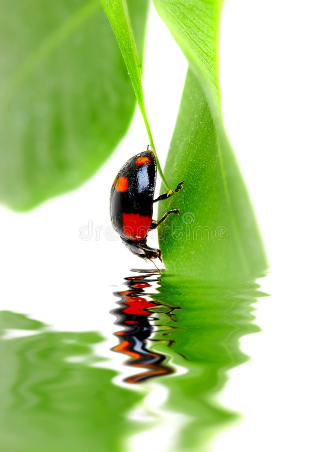 Small bug. The small bug on a leaf of a plant. Reflected in water royalty free stock photography