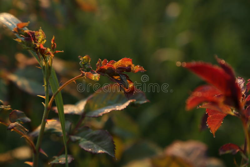 Small bug on rose leaves at sunrise royalty free stock photo