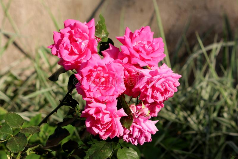 Small bunch of densely planted fully open blooming pink roses growing in local garden surrounded with leaves and other plants. On warm sunny spring day royalty free stock images