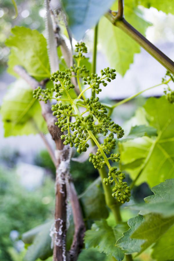 Small bunches of grapes royalty free stock photos