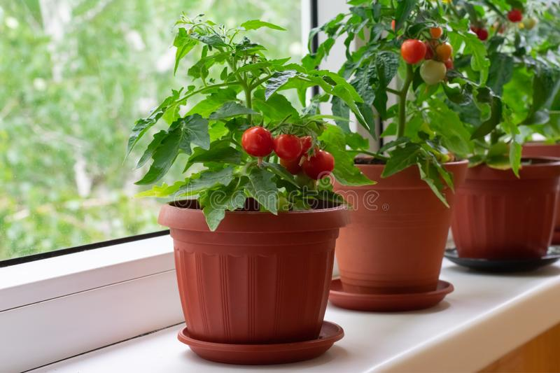 Small bush of balcony cherry tomatos in brown pots on white windowsill stock photos