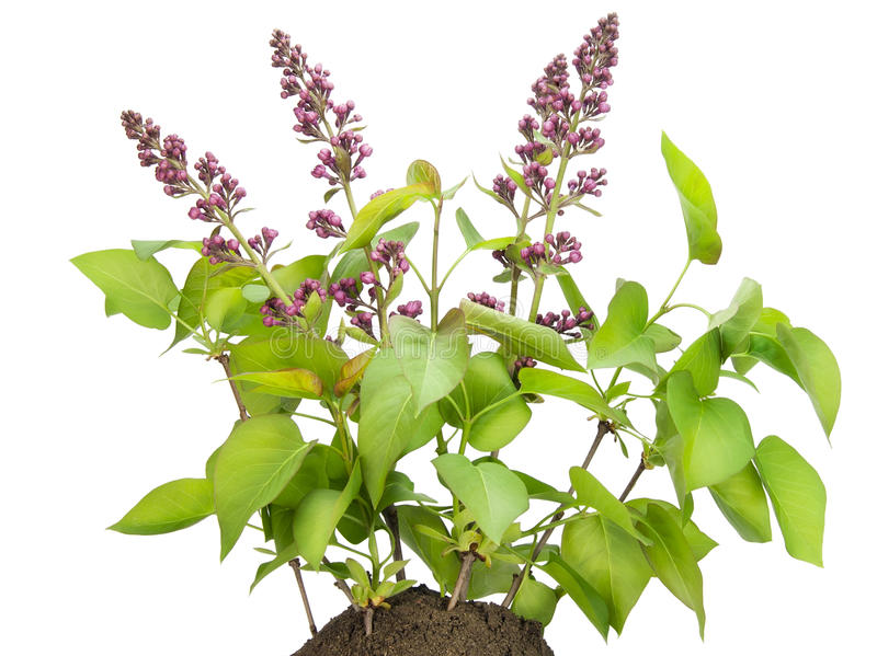 Download Small Bush Of The Lilac With Buds On A Bed Stock Image - Image: 19534583