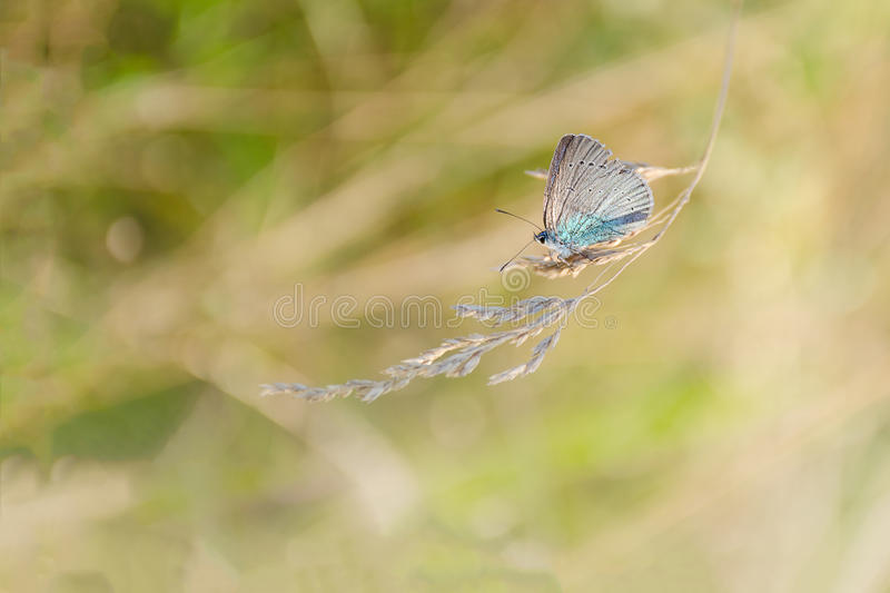 A small butterfly with blue wings sits on a golden spikelet at meadow grass. Summer or autumn atmosphere. A small butterfly with blue wings sits on golden stock photo