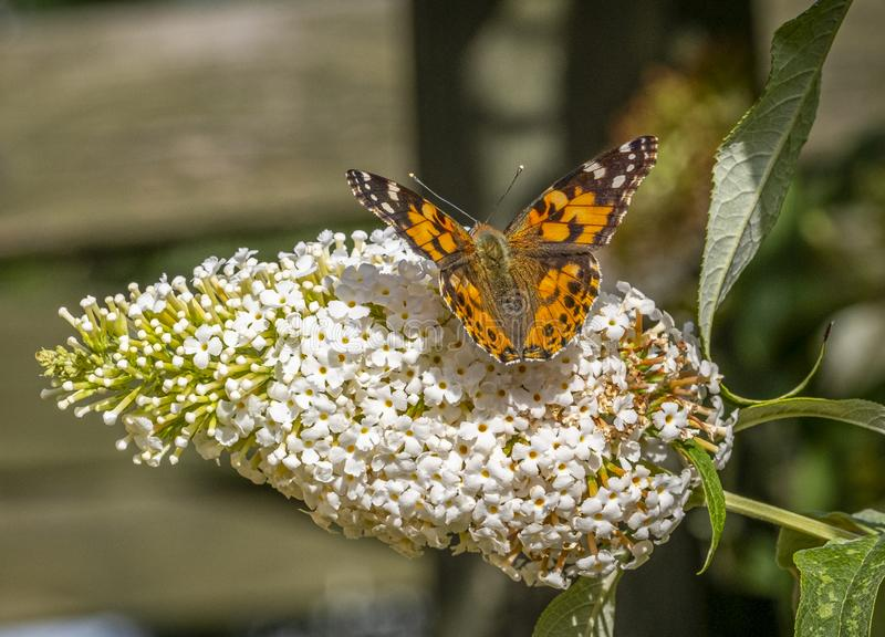 Small  Butterfly and Budlia. A picture of small butterfly settled on a white Budlia flower with a blurred background royalty free stock images