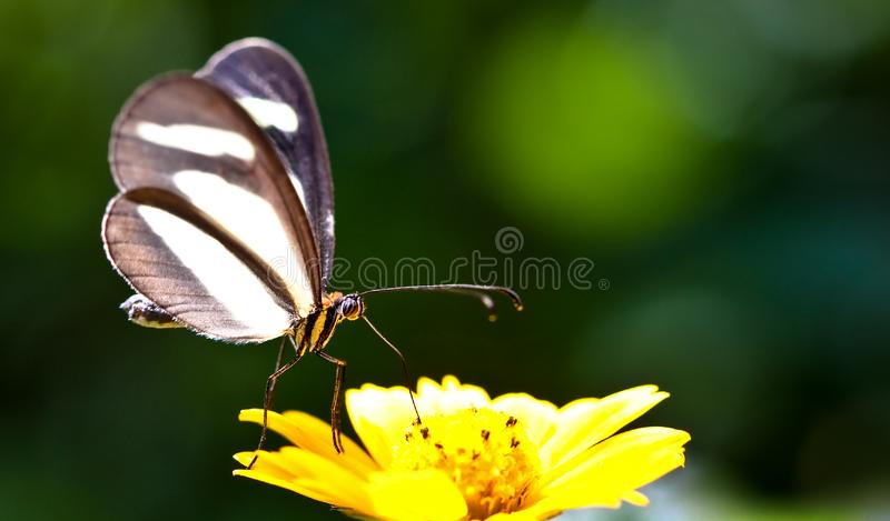 Small butterfly closeup sitting on a yellow wild flower with green out of focus bokeh background. Butterfly close up macro photo stock photography