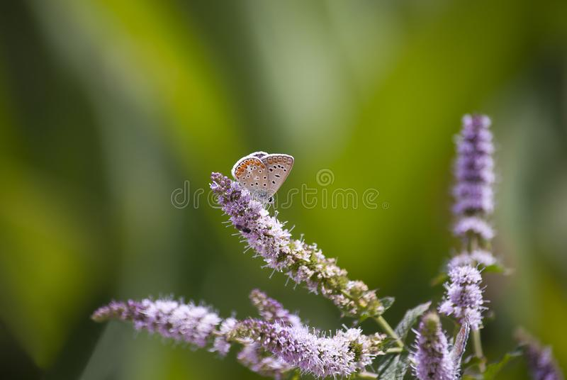A small butterfly on the flower of catnip. Which absorbs its food royalty free stock image
