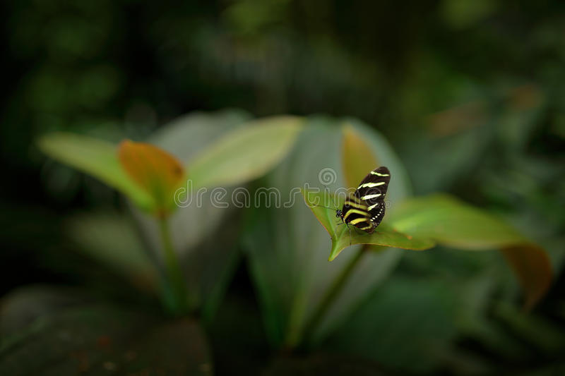 Small butterfly in the tropic forest habitat. Beautiful butterfly Zebra Longwing, Heliconius charitonius. Butterfly in nature habi stock image
