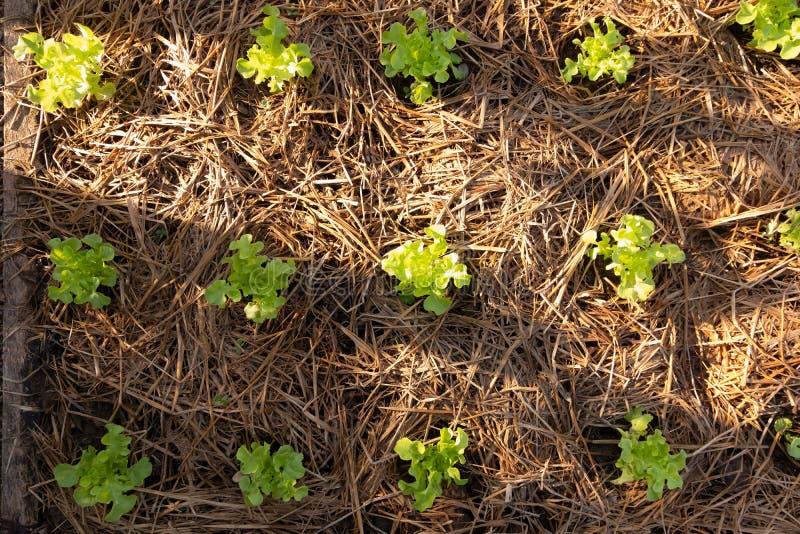 Small butterhead Vegetable farm stock image