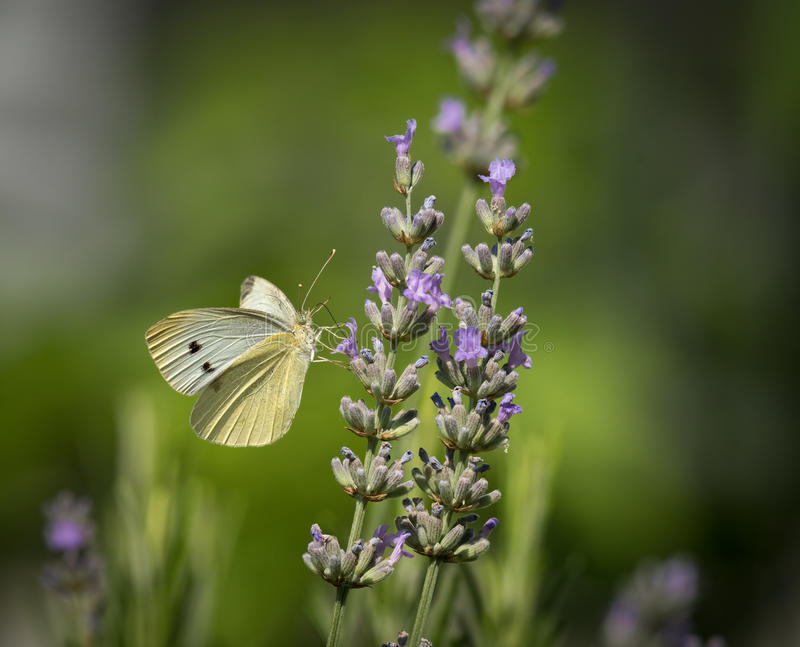 Small cabbage white butterfly royalty free stock photos