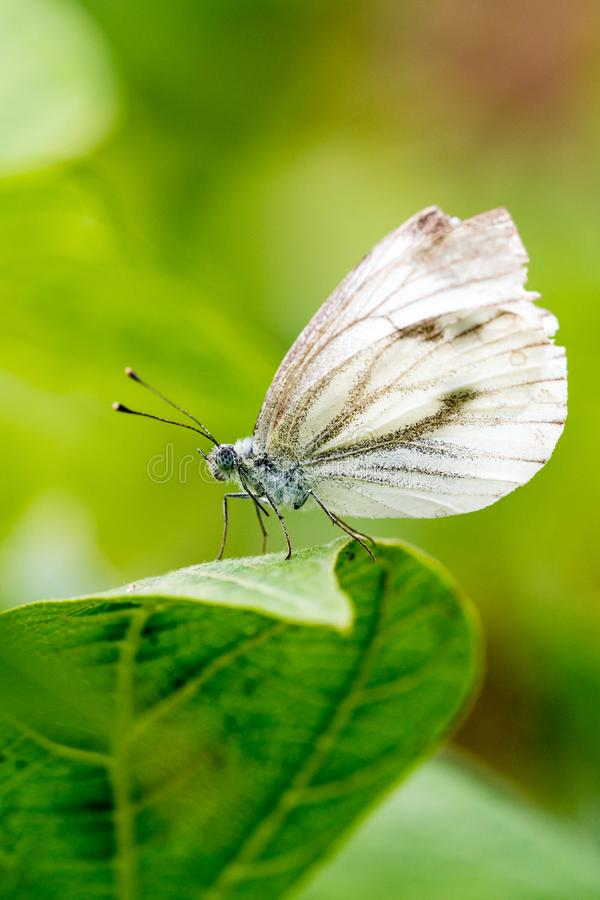 Free Small Cabbage White Butterfly Or Pieris Rapae Standing On The Leaf Royalty Free Stock Photo - 154577255