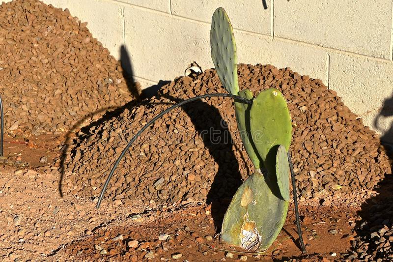 Cactus plant along a block wall. A small cacti plant grows in a yard with a sprinkler line which drips water for the plant stock images