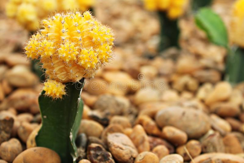 Small cactus blooming flower in cactus garden royalty free stock image