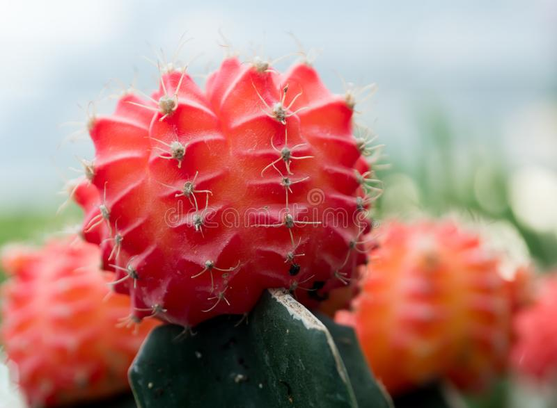 Small cactus in a pot lined with macro focus. royalty free stock image