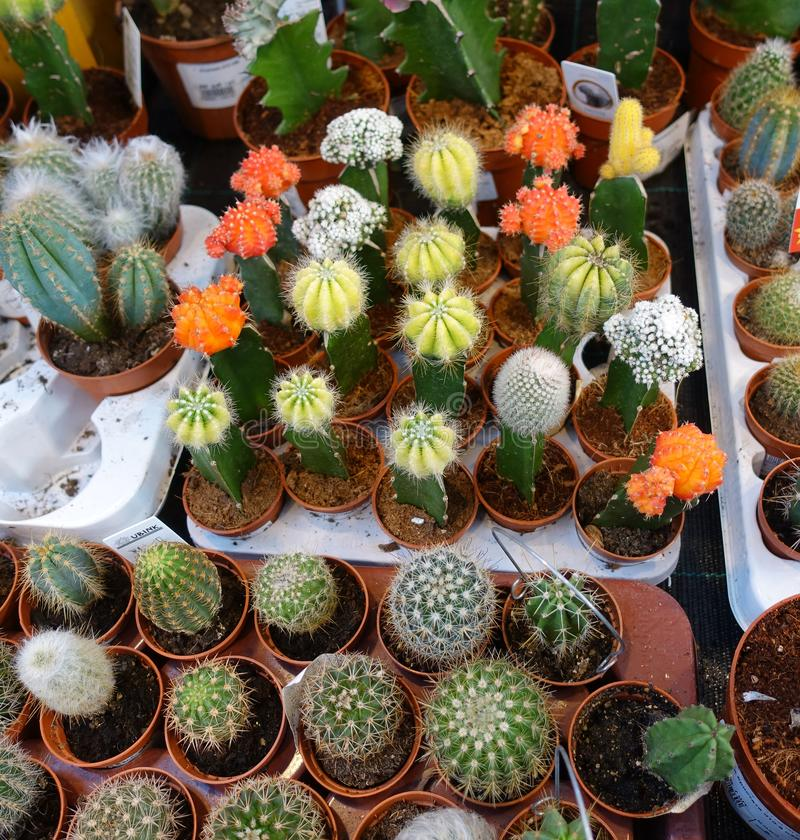 Small cactus in the cactus shop, collection of small cactus stock photography