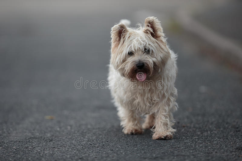 Small Cairn Terrier Dog Walking On ROad Stock Photo