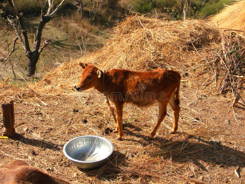 Small calf royalty free stock images