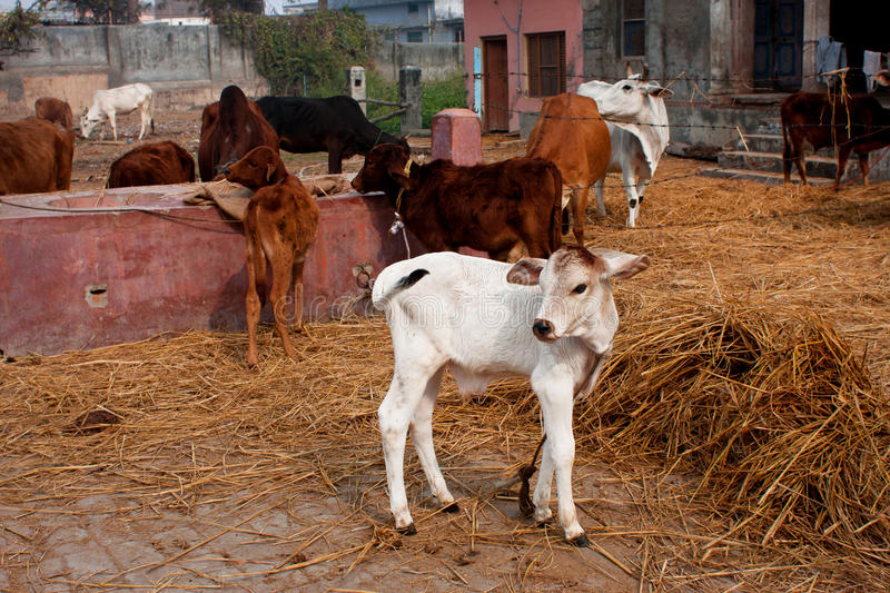 Small Calf And Other Animals In A Rustic Barn Royalty Free ...