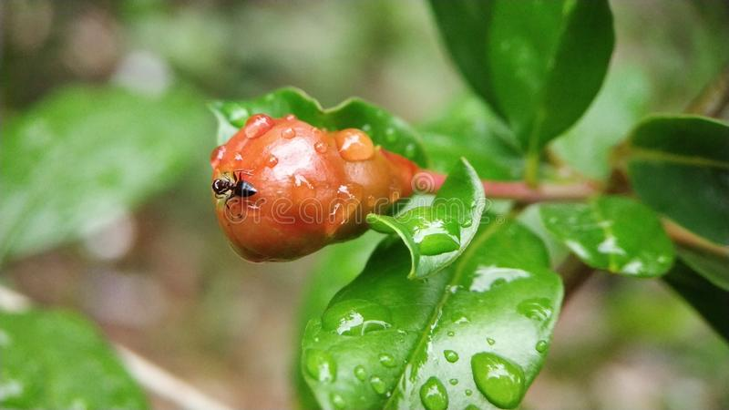 Small carpenter ant eating unripe pomegranate stock images