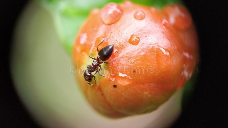 Small carpenter ant eating unripe pomegranate stock image