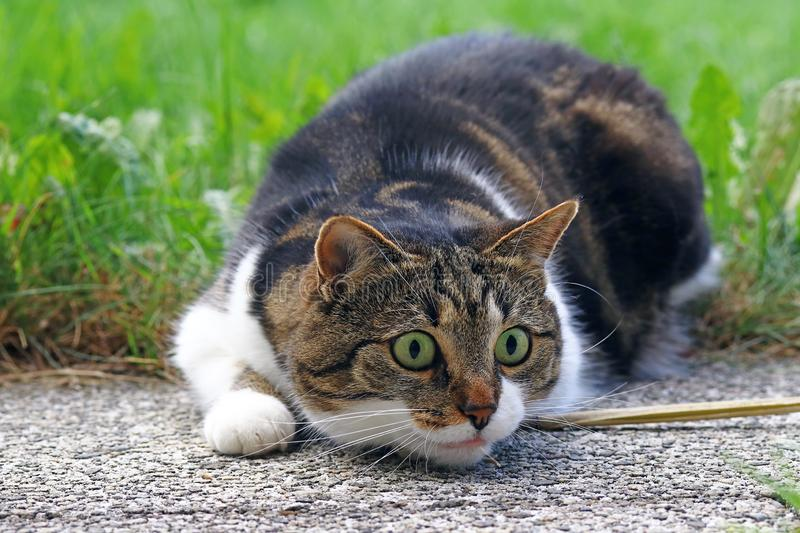 A small cat shortly before the attack. A cat playing and hunting royalty free stock photography