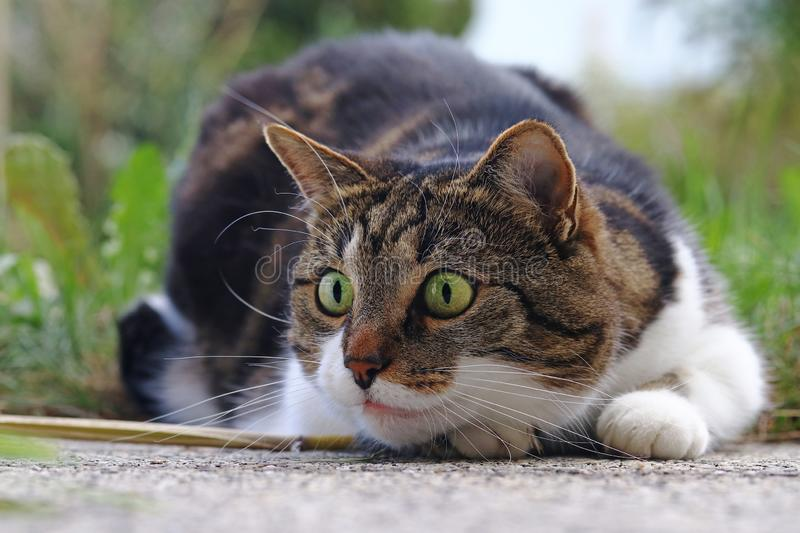 A small cat shortly before the attack. A cat playing and hunting royalty free stock photos