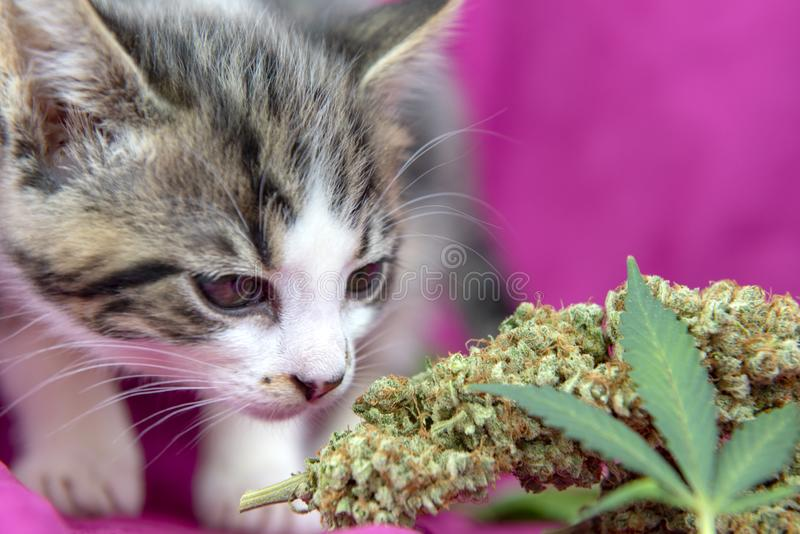 Small cat smelling a cannabis leaf on pink background. Marijuana for pets concept royalty free stock photos