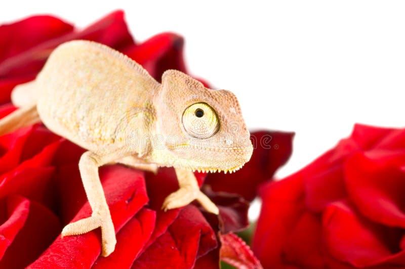 Small chameleon stock image