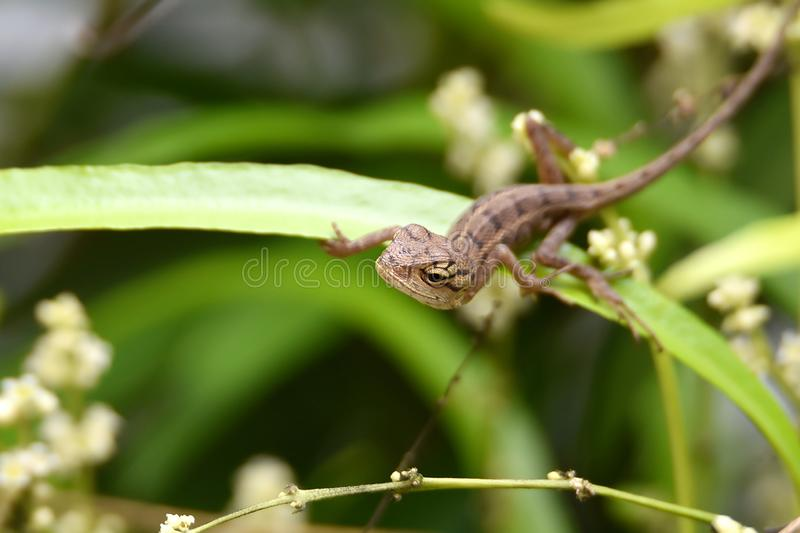 Small chameleon above green leaves stock photo