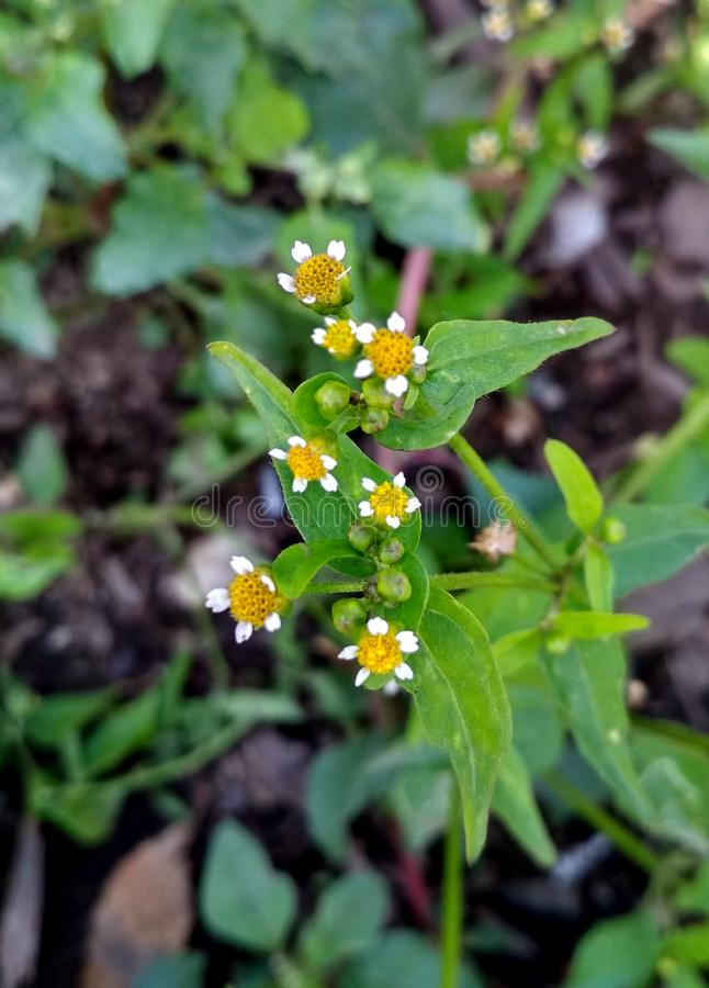 Small chamomile flowers and green leaves. In the field, closeup background royalty free stock image