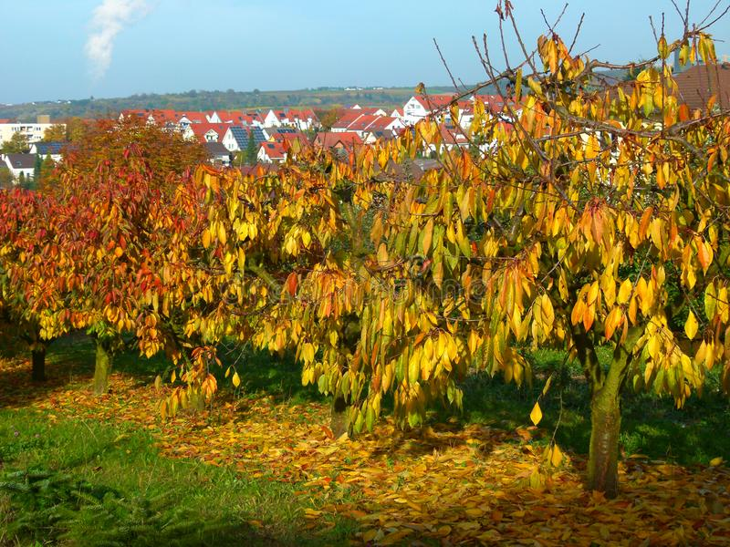 Golden yellow autumn leaves in great light with blue sky  2. Small cherry trees with bright autumn leaves, autumn impressions from the orchard, bright autumn stock photo