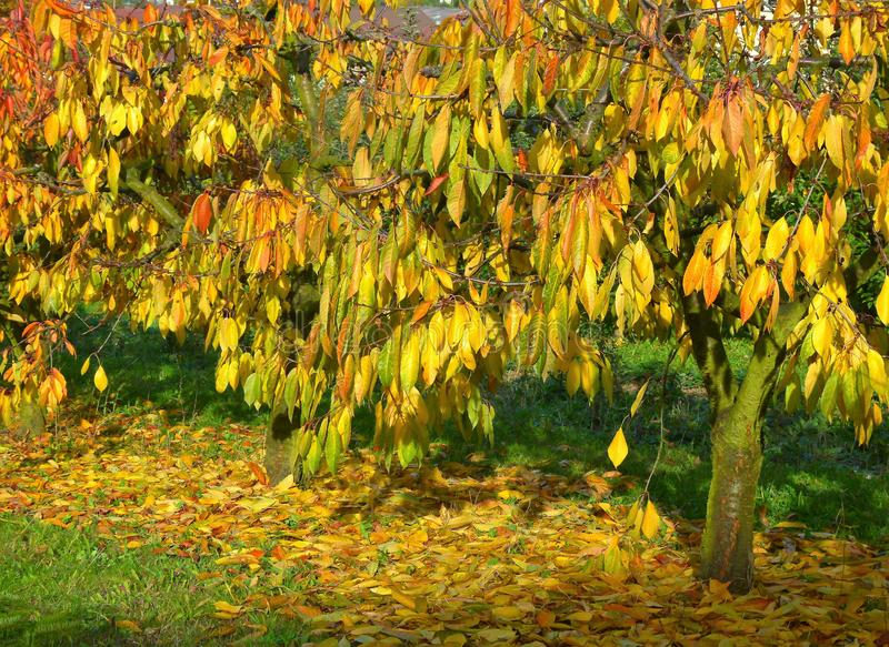 Small cherry trees with bright autumn leaves on the tree and on the ground. Small cherry trees with bright autumn leaves, autumn impressions from the orchard stock photo