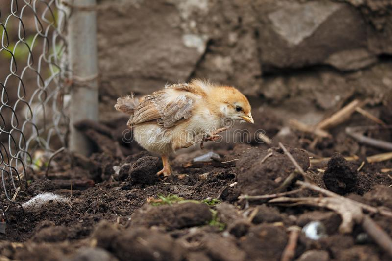Small chick. Photo of a Small chick royalty free stock images