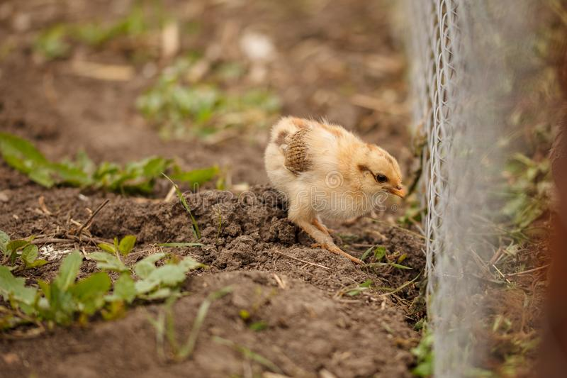 Small chick. Photo of a Small chick royalty free stock photography