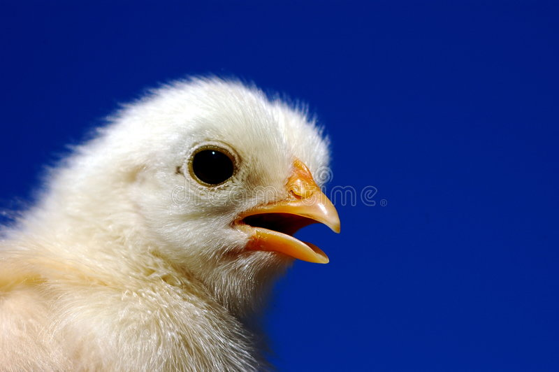 Small chicken stock photography